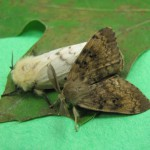 Male and Female Gypsy Moths