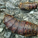 Pupa Stationary Larvae